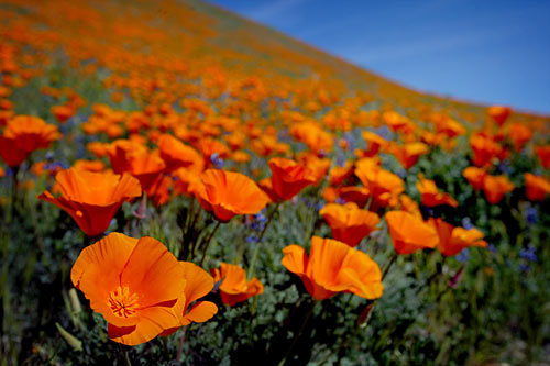 california poppy reserve. Professors Oren Bar-Gill and